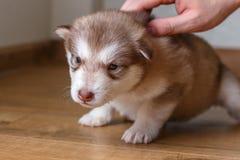 De kleine rode zitting Van Alaska van puppymalamute op de vloer Mannelijke hand die een puppy strijken stock fotografie