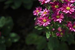 De kleine roze bloemen in de ochtend Stock Afbeeldingen