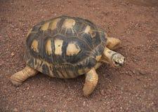 De kleine Schildpad loopt en ziet eruit stock foto's