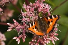 De Kleine Schildpad van de vlinder Stock Afbeelding