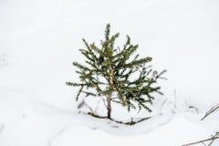 De kleine spar van een paar centimeters slechts in de sneeuw komt uit Stock Afbeeldingen