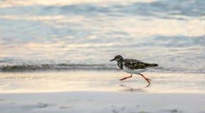 De kleine strandlopervogel loopt op een oceaankust bij zonsondergang Stock Fotografie