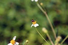 De kleine toppositie van insectbijen op madeliefjebloem Stock Foto