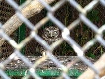 De kleine uil in gevangenschap - een dierenbeschermingconcept royalty-vrije stock afbeeldingen