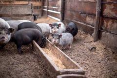De kleine varkens eten van een houten trog Stock Afbeelding