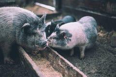 De kleine varkens eten van een houten trog Royalty-vrije Stock Foto