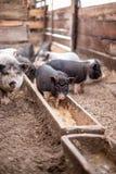 De kleine varkens eten van een houten trog Royalty-vrije Stock Afbeeldingen