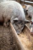 De kleine varkens eten van een houten trog Stock Fotografie