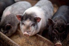 De kleine varkens eten van een houten trog Stock Foto