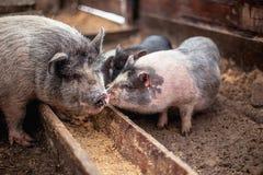 De kleine varkens eten van een houten trog Stock Afbeeldingen