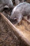 De kleine varkens eten van een houten trog Royalty-vrije Stock Afbeelding