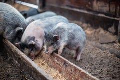 De kleine varkens eten van een houten trog Royalty-vrije Stock Fotografie