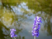 de kleine violette bloemen met vage bomen denken in de rivier na stock afbeelding
