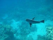 De kleine vissen in een haai als stellen Stock Foto