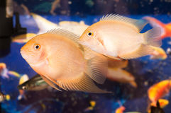De kleine vissen van Aquarian royalty-vrije stock afbeelding