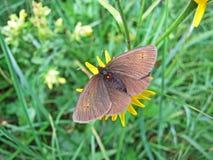 De kleine de vlinder of de berglok Erebia epiphron of Der Knochs Mohrenfalter Schmetterling van de berglok stock afbeeldingen