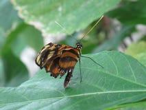 De kleine Vlinder van de Brievenbesteller Stock Afbeelding