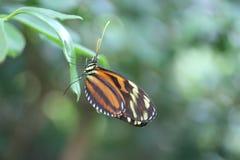 De kleine Vlinder van de Brievenbesteller Stock Foto