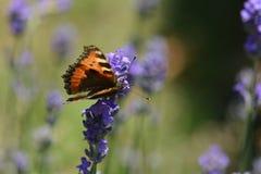 De kleine vlinder van de Schildpad Stock Foto's