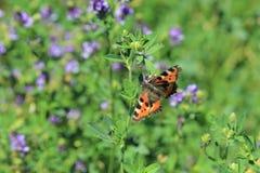 De kleine vlinder van de Schildpad Royalty-vrije Stock Afbeelding