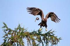 De kleine vogel intimideerde grote vogel Royalty-vrije Stock Fotografie