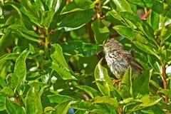 De kleine vogel van Karoo Prinia in boom royalty-vrije stock foto