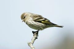 De Kleine Vogel van Siskin van de pijnboom royalty-vrije stock afbeelding