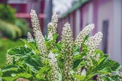 De kleine witte bloemen van Laconosa-bes groeien in de tuin Kruideninstallatie royalty-vrije stock afbeelding