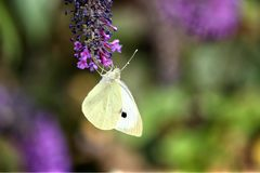 De Kleine Witte Vlinder van Pierisrapae, het voeden bovenkant - neer op een purpere vlinderstruik royalty-vrije stock foto