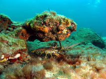De kleine Zeekreeft van Florida Stock Foto