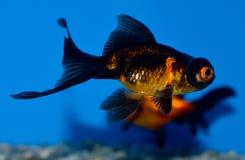 De kleine zwarte en oranje goudvis van het Telescoopoog stock afbeeldingen