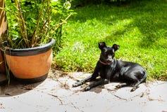 de kleine zwarte hond pincher zoals ras legt op de steenvloer openlucht, dichtbij de groene gras en bloempot stock afbeelding