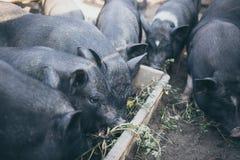 De kleine zwarte varkens eten van een houten trog Stock Afbeeldingen