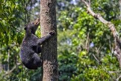 de kleinste beer in de wereld, de zon draagt royalty-vrije stock foto's