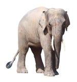 De kleinste olifant, de kostbare pygmy olifant van Borneo op witte achtergrond Stock Afbeeldingen
