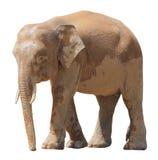 De kleinste olifant, de kostbare pygmy olifant van Borneo op witte achtergrond Royalty-vrije Stock Afbeeldingen