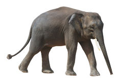 De kleinste olifant, de kostbare pygmy olifant van Borneo op witte achtergrond Stock Fotografie