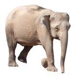 De kleinste olifant, de kostbare pygmy olifant van Borneo op witte achtergrond Royalty-vrije Stock Fotografie