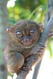 De kleinste Primaat stock foto