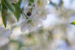 De kleur van de bloemen van abrikozenboom in de lente stock fotografie