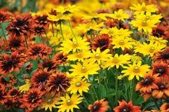 De kleur van de daling, rudbeckiabloemen Stock Afbeeldingen