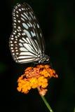De kleur van de vlinder Stock Afbeelding
