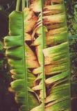 De kleuren van de banaanbladeren zijn vernietigde geel Stock Foto's