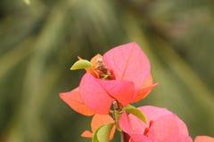 De kleuren van de bougainvilleabloem Royalty-vrije Stock Foto's