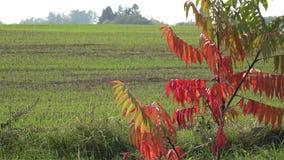 De kleuren van de de herfstboom en de wintergewassen van korrel op landbouwgebied 4K stock videobeelden