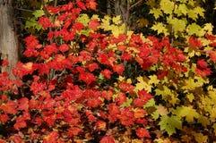 De Kleuren van de Esdoorn van de herfst Stock Afbeeldingen
