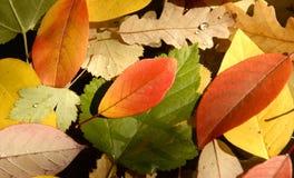 De Kleuren van de herfst in Bladeren Stock Foto's