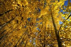 De kleuren van de herfst van berkbomen Stock Afbeeldingen
