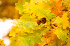 De kleuren van de herfst van eiken bladeren Royalty-vrije Stock Afbeeldingen