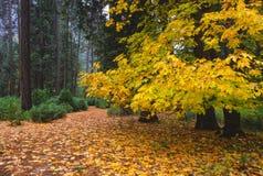 De kleuren van de herfst in Yosemite Stock Foto